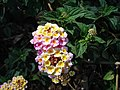 Wild flowers kotagiri tamilnadu - panoramio.jpg