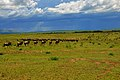 Wildebeest migration observed in November 2011.jpg