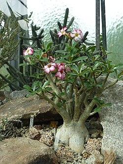Wilhelma Wüstenpflanzen.jpg