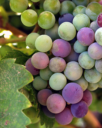 Winemaking cooperative - Wine grapes undergoing véraison