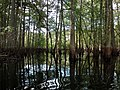 Withlacoochee river mangrove forest.jpg