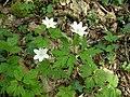 Wood Anemone (Anemone nemorosa) - geograph.org.uk - 421757.jpg