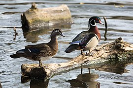 Wood Ducks in North Pond, Chicago.jpg