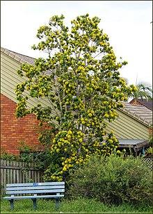 Xanthostemon Chrysanthus Wikipedia