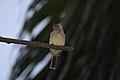 Yellow-bellied Elaenia (Elaenia flavogaster) (4504872397).jpg