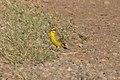 Yellow-fronted Canary Big Island Golf Course Pu'u O'o Trail HI 2018-11-29 11-07-28 (45409484214).jpg