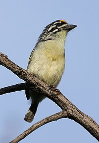 Yellow-fronted tinkerbird, Pogoniulus chrysoconus, at Walter Sisulu National Botanical Garden, South Africa (16005817942).jpg