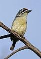 Yellow-fronted tinkerbird, Pogoniulus chrysoconus, at Walter Sisulu National Botanical Garden, South Africa (16005817942).jpg