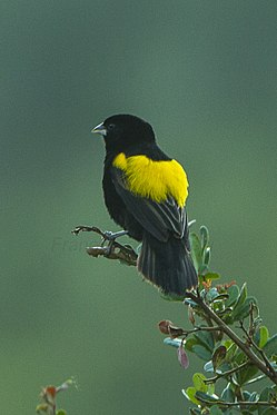 Yellow Bishop - Kenya S4E8557 (22662474520).jpg