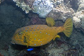Yellow boxfish Ostracion cubicus (5834901722).jpg