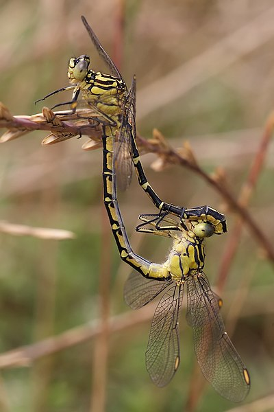 Dosiero:Yellow striped hunter mating.jpg