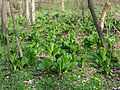 Yet Another Skunk Cabbage Patch - Flickr - treegrow.jpg