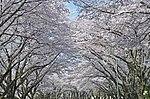Yokota in full bloom 160406-F-CB366-015.jpg