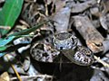 Young Terciopelo (Bothrops asper) (6781404421).jpg