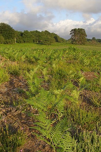 Young bracken on dry heath to the northwest of...