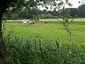 Young cows in meadow.JPG