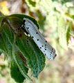 Yponomeutidae. Thistle Ermine. Myelois circumvoluta. - Flickr - gailhampshire.jpg