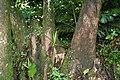Yucca elephantipes 11zz.jpg