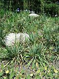 Yucca glauca soapweed MN 2007.JPG