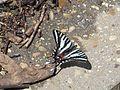 Zebra Swallowtail 01.jpg