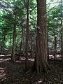 Zoar Valley bottomland old growth.jpg
