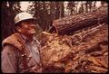 """FALLER"" D.JACKSON AND FELLED RED FIR TREE - NARA - 542781.tif"