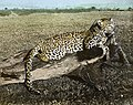 """Leopard , Livingstonia"", Malawi, ca.1910 (imp-cswc-GB-237-CSWC47-LS4-1-012) (cropped).jpg"