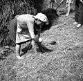 """""""Svetak"""" (zvitek sena) dela, Robidišče 1951.jpg"""