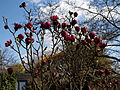 'Magnolia x soulangeana' Black Tulip 'JURmag1', Capel Manor Gardens Enfield London England.jpg