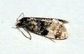(0968) Cochylis nana (4746972010).jpg