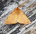 (1923) Feathered Thorn (Colotois pennaria) (22136130713).jpg