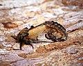 (2003) Pebble Prominent (Notodonta ziczac) (34202434382).jpg