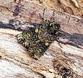 (2291) The Coronet (Craniophora ligustri) (17567155062).jpg