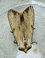 (2322) Light Arches (Apamea lithoxylaea) (4772561110).jpg