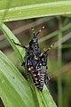 ? (Acrididae) (4756630401).jpg