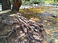 Árbol río Lozoya.jpg
