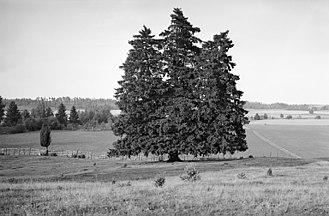 Selaön - Spruce fir with three trunks at Åsa prehistoric burial ground at Selaön island