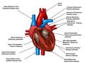Širdies laidžioji sistema.png