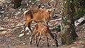 Κόκκινα ελάφια (Cervus elaphus) στην Πάρνηθα.jpg