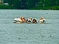 Παρέα πελεκάνων στην λίμνη της Καστοριάς.jpg