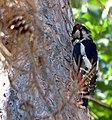 Большой пёстрый дятел - Dendrocopos major - Great spotted woodpecker - Голям пъстър кълвач - Buntspecht (37068610402).jpg