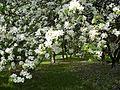 Весенний сад и яблонь цвет. - panoramio.jpg