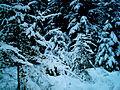 Кременецький ліс зимою.JPG