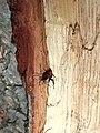 Невдале народження. Жук-вусач (родина Cerambycidae) не зміг прогризти останню тріску і загинув.jpg