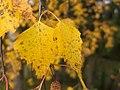 Осенний лист - panoramio.jpg