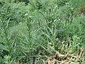 Парк шума Гази Баба во мај (91).JPG