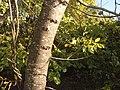 Полски ясен 7.jpg