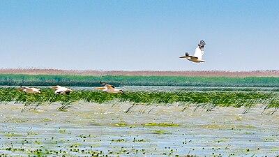 Політ рожевих пеліканів - Дунайський біосферний заповідник.jpg