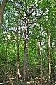 Підгородне - Вікові дерева модрини - 16052925.jpg