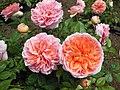 Роза «Чиппендейл». Долина Роз.jpg
